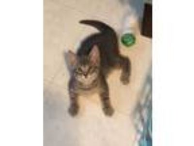 Adopt Carlee and Seuss a Domestic Short Hair