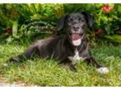 Adopt Everly a Black - with White Labrador Retriever / Mixed dog in Tampa