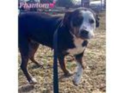 Adopt Phantom a Black - with White Hound (Unknown Type) / Mixed dog in Merrimac