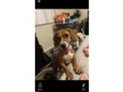 Adopt Milah a Brown/Chocolate - with White Basset Hound / Mixed dog in Fort
