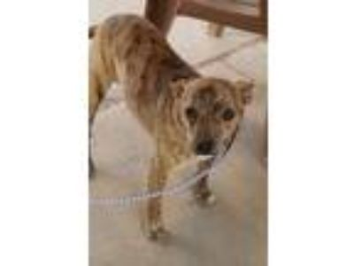Adopt Holly a Brindle Terrier (Unknown Type, Small) / Mixed dog in Sheridan