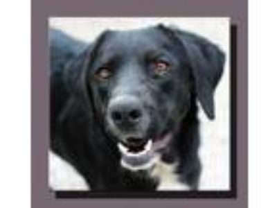 Adopt Wiley Looney Tunes a Black - with White Labrador Retriever / Mixed dog in