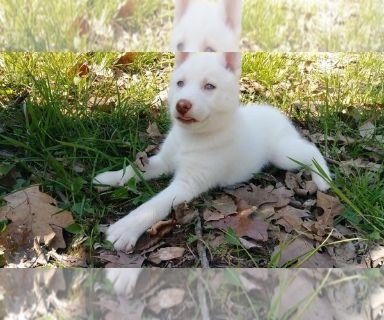 Siberian Husky PUPPY FOR SALE ADN-128603 - Husky Puppies