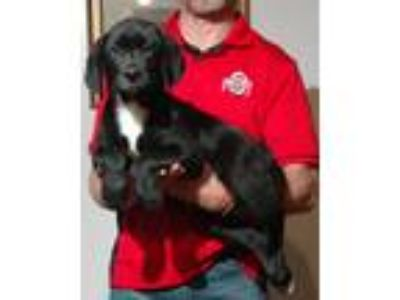 Adopt Moose a Black - with White Labrador Retriever / Border Collie / Mixed dog