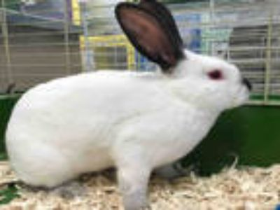 Adopt FLASH a White Californian / Mixed rabbit in Plano, TX (24321938)
