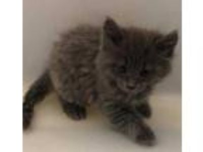 Adopt Lane a Gray or Blue Domestic Longhair / Domestic Shorthair / Mixed cat in