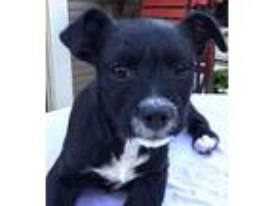 Adopt Princess Sally Acorn a Black - with White Terrier (Unknown Type