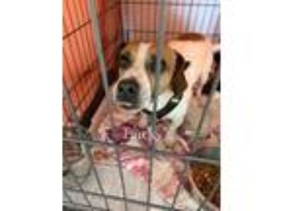 Adopt Bucky a Tricolor (Tan/Brown & Black & White) Beagle / Mixed dog in