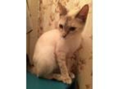 Adopt Buttercup Manning a Siamese, Domestic Short Hair