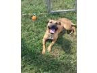 Adopt Mason a Red/Golden/Orange/Chestnut - with White American Pit Bull Terrier