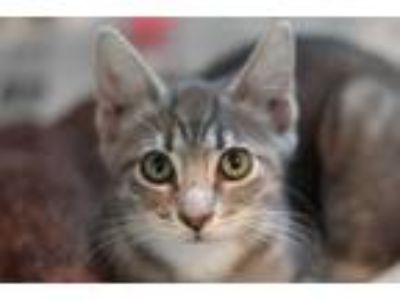 Adopt GRAYCIE a Gray or Blue (Mostly) Domestic Shorthair / Mixed (short coat)