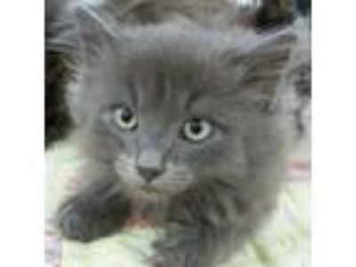 Adopt Cashmere [CP] a Gray or Blue Maine Coon / Mixed (long coat) cat in