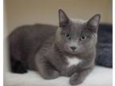 Adopt Baby (3) a Gray or Blue Domestic Shorthair / Mixed (short coat) cat in