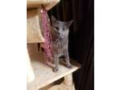 Adopt Tom a Gray or Blue Russian Blue / Mixed cat in Strasburg, VA (24251154)