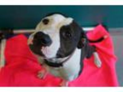 Adopt DOE a Black - with White American Pit Bull Terrier / Mixed dog in Norfolk