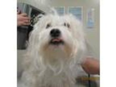 Adopt Macey a White Poodle (Toy or Tea Cup) / Terrier (Unknown Type