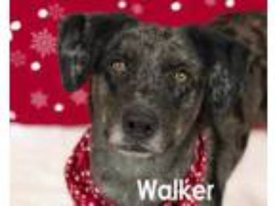 Adopt Walker a Gray/Blue/Silver/Salt & Pepper Catahoula Leopard Dog / Australian