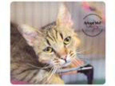Adopt Linus a Brown Tabby Bengal / Mixed (short coat) cat in Belton