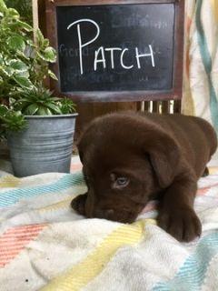 Labrador Retriever PUPPY FOR SALE ADN-90383 - AKC REGISTERED ENGLISH LABRADOR RETRIEVERS