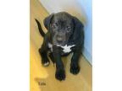 Adopt EDDIE a Black - with White Catahoula Leopard Dog / Mixed dog in Palm City