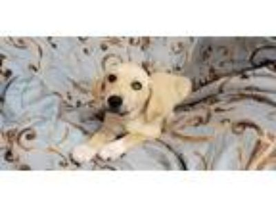 Adopt Carly a Retriever, Labrador Retriever
