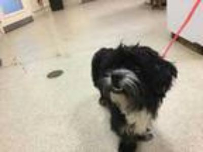 Adopt Dog a Black - with White Shih Tzu / Mixed dog in Jurupa Valley