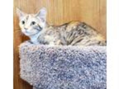Adopt Leganza a Domestic Short Hair