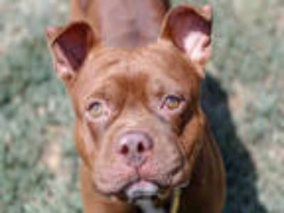 Adopt BACON a Brown/Chocolate - with White American Pit Bull Terrier / Mixed dog