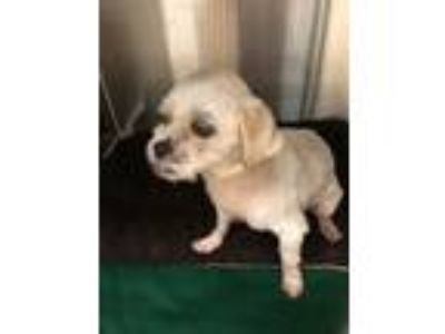 Adopt Clover a White Shih Tzu / Mixed dog in Middle Tennessee, TN (25517000)