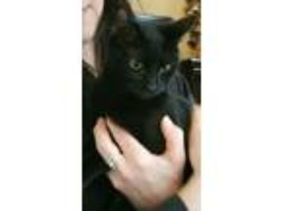 Adopt Bridgett a Domestic Short Hair