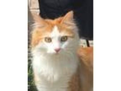 Adopt Pebbles a Orange or Red (Mostly) Domestic Longhair (long coat) cat in