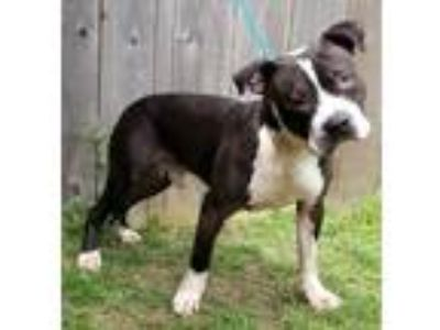 Adopt Paxton a Pit Bull Terrier / Mixed dog in Great Bend, KS (25285274)