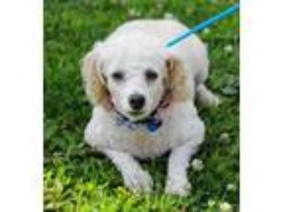 Adopt Mable a Poodle