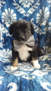 Australian Shepherd PUPPY FOR SALE ADN-95504 - Your Next Family Member is Here
