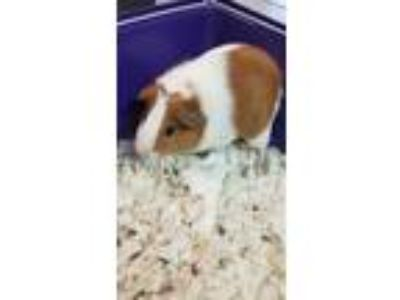 Adopt Spongebob a White Guinea Pig / Mixed small animal in Washington