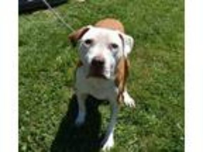 Adopt Duke a White American Pit Bull Terrier / Mixed dog in South Abington