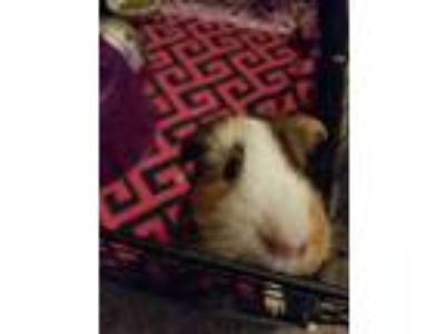 Adopt Gidget a Guinea Pig small animal in Fullerton, CA (24032095)