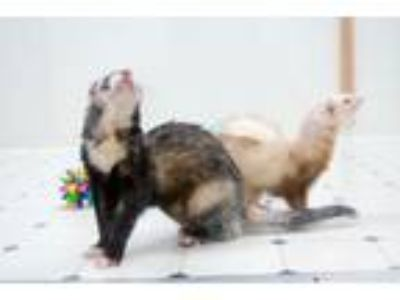 Adopt Rotti Largo and Mag a Ferret
