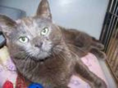 Adopt Olive a Gray or Blue American Shorthair / Domestic Shorthair / Mixed