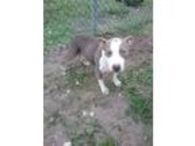Adopt Girl Puppy a Pit Bull Terrier