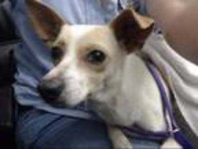 Adopt PUFF a White - with Brown or Chocolate Italian Greyhound / Mixed dog in