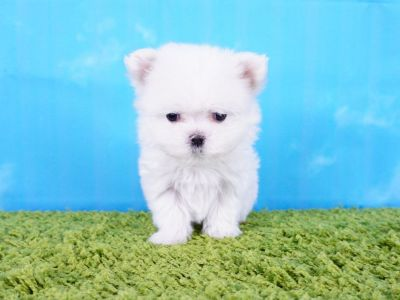 Maltese Puppy – Female - Debby ($3,000)