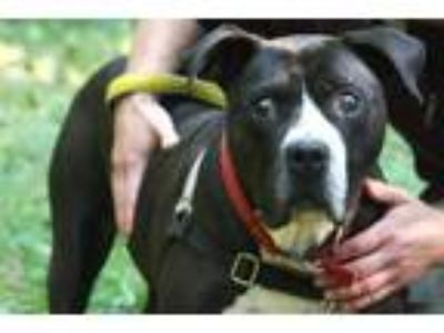 Adopt Tee a Pit Bull Terrier
