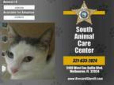 Adopt CALLIE a White (Mostly) Domestic Shorthair / Mixed (short coat) cat in
