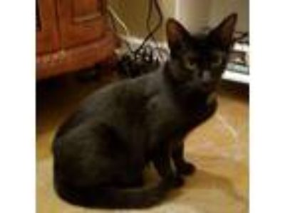 Adopt Neal a Bombay, Domestic Short Hair