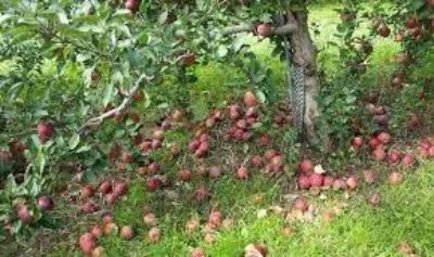 Looking for free fallen apples