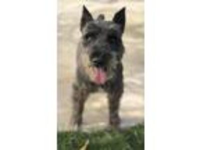 Adopt Teddy a Brown/Chocolate - with Tan Schnauzer (Miniature) / Mixed dog in
