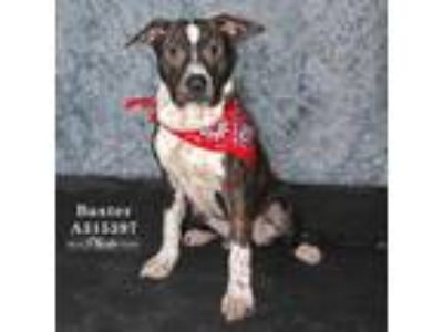 Adopt BAXTER a Brindle - with White American Pit Bull Terrier / Mixed dog in