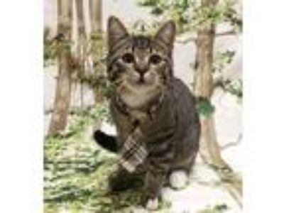 Adopt Lennie a Gray, Blue or Silver Tabby Domestic Shorthair (short coat) cat in