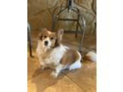 Adopt Aila a White - with Brown or Chocolate Pomeranian / Dachshund / Mixed dog